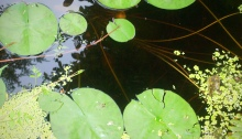 Lake and lily pads (Featured)