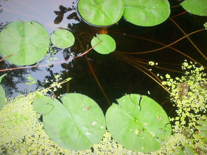 Lake and lily pads