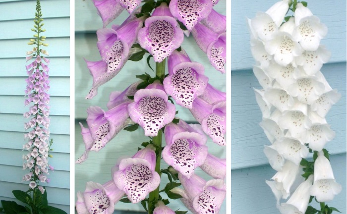 2010 foxgloves